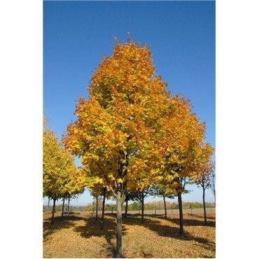 Acer platanoïdes Cleveland sur tige (érable plane)