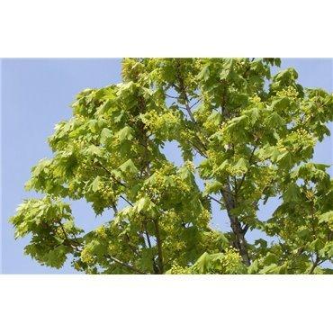 Acer platanoïdes Columnare sur tige (érable plane)