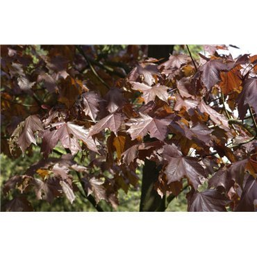 Acer platanoïdes Crimson King auf Stamm ( Roter Spitz-Ahorn )