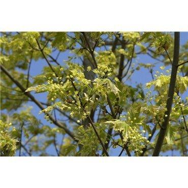 Acer platanoïdes Drummondii sur tige (érable plane panaché)
