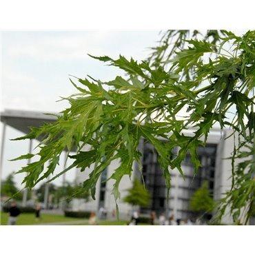 Acer saccharinum Laciniatum Wieri auf Stamm ( Silber-Ahorn, Silberahorn )