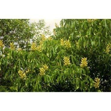 Aesculus flava sur tige (marronnier jaune)