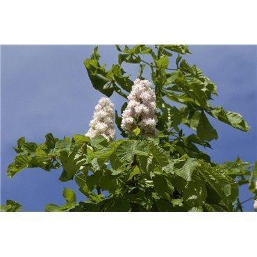 Aesculus hippocastanum Baumannii auf Stamm ( Gefülltblühende Rosskastanie )