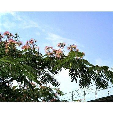 Albizia julibrissin auf Stamm ( Seidenbaum, Schlafbaum )