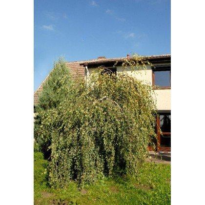 Betula pendula Youngii auf Stamm ( Trauerbirke, Hängebirke )