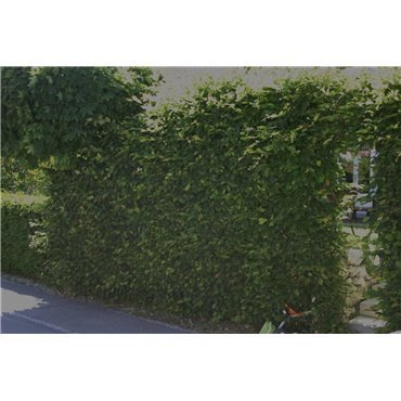 Carpinus betulus sur tige (Charme, charmille)