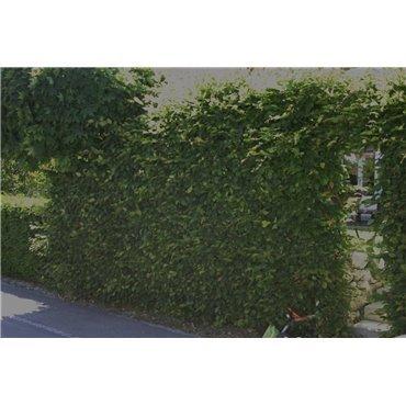 Carpinus betulus auf Stamm ( Hagenbuche, Hainbuche )