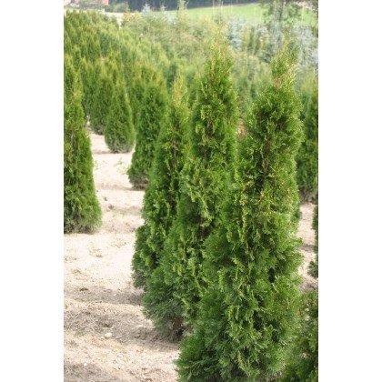 Thuja occidentalis Smaragd ( Abendländischer Lebensbaum )