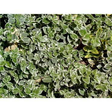 Euonymus fortunei Emerald Gaiety (fusain)