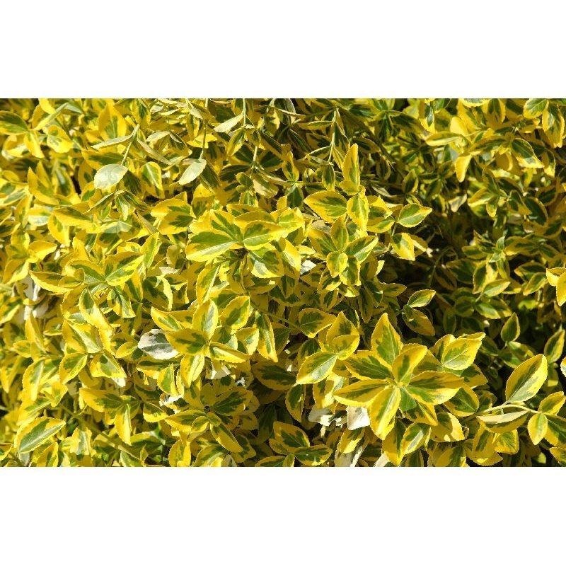 Euonymus fortunei Emerald' n' Gold (fusain)