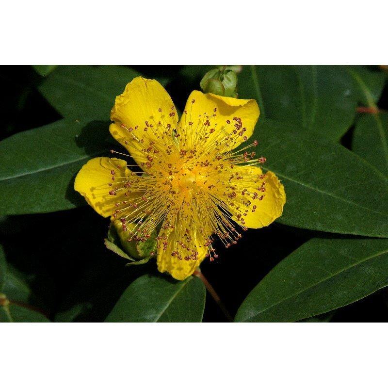 Hypericum calycinum ( grossblütiges Johanniskraut )