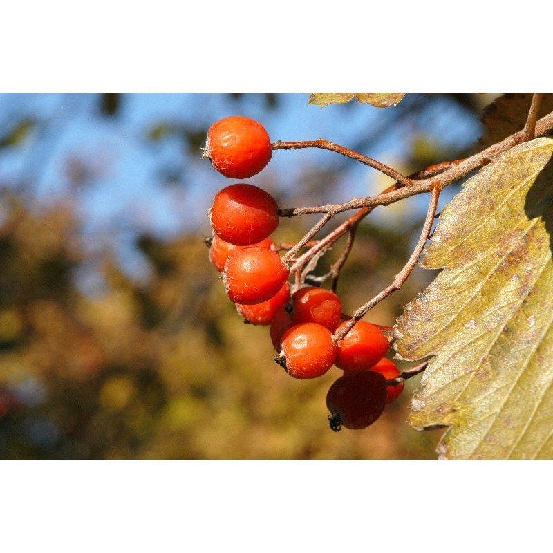 Sorbus intermedia  ( Schwedische Mehlbeere )