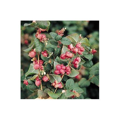 Symphoricarpos doorenbosii Magic Berry (symphorine)