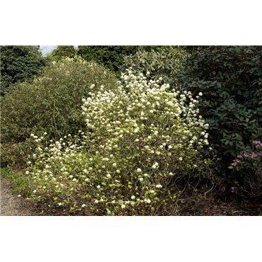Fothergilla gardenii ( Federbuschstrauch)