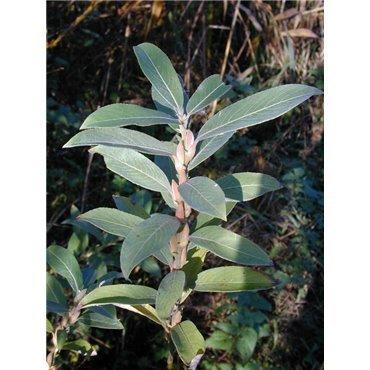 Salix gracilistyla ( Zwergweide )