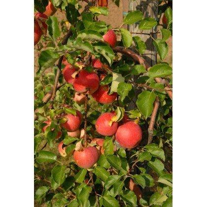 Apfel Reanda