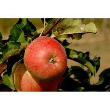 Apfel Renora