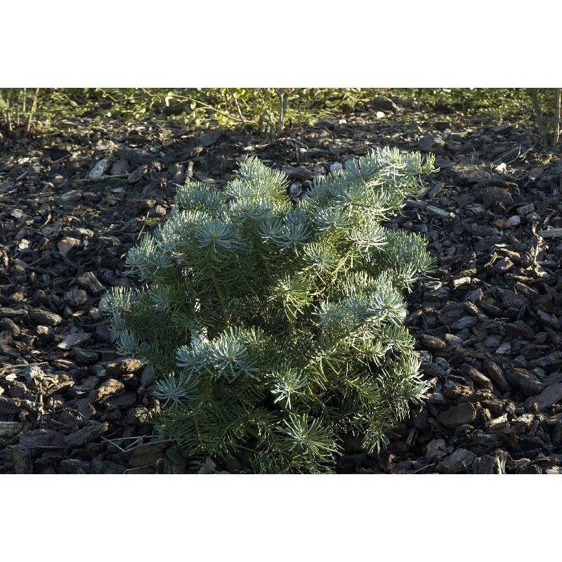 Abies concolor Compacta (sapin bleu du Colorado)