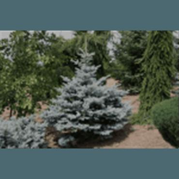 Picea pungens Glauca Globosa (sapin bleu nain)