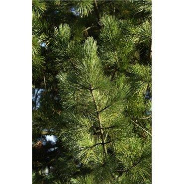 Pinus cembra ( Arve, Zirbelkiefer )
