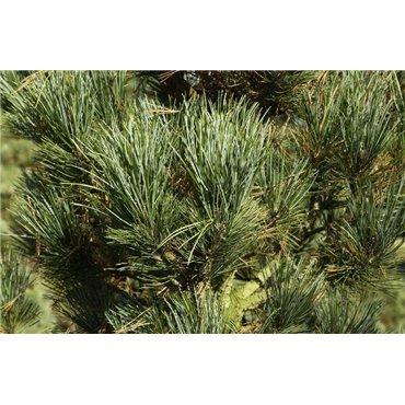 Pinus cembra Compacta Glauca ( kompakte Blauzirbelkiefer )