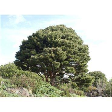 Pinus densiflora Umbraculifera ( Japanische Rotkiefer )