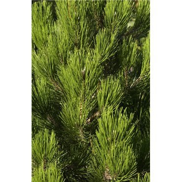 Pinus leucodermis Compacta Gem (Pin de Bosnie)