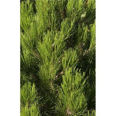 Pinus leucodermis Compacta Gem ( Zwerg-Schlangenhautkiefer )