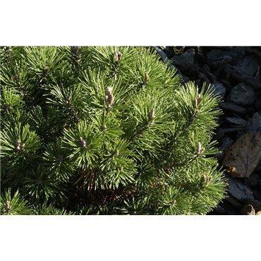 Pinus mugo Mops ( Kugelkiefer )