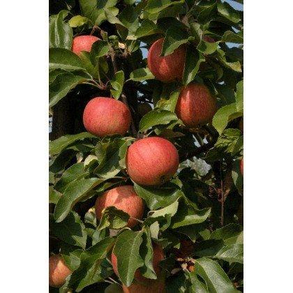 Apfel Royal Gala