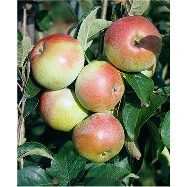 Apfel Schweizer Orange