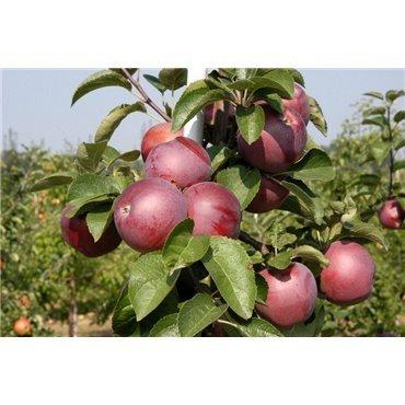 Apfel Spartan