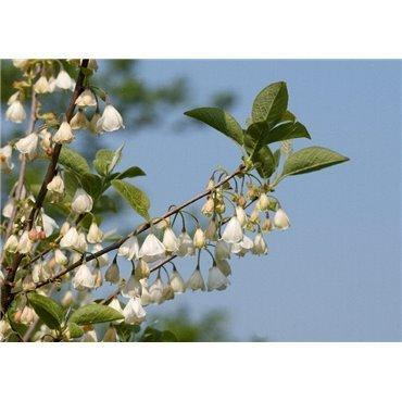 Halesia carolina (arbre aux cloches d'argents)