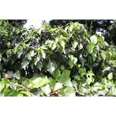 Hedera colchica Arborescens ( Kaukasus- Efeu )