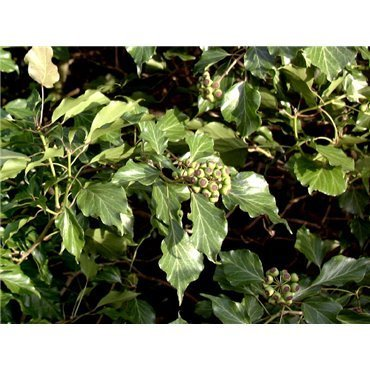 Hedera helix Arborescens ( Strauch-Efeu)