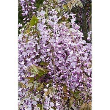 Wisteria floribunda Honbeni ( Glyzinen, Blauregen )