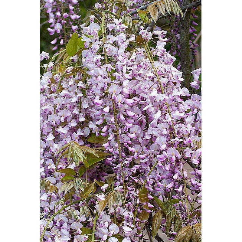 Wisteria floribunda Honbeni (glycine)