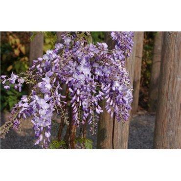 Wisteria sinensis Prolific   ( Glyzine, Blauregen )