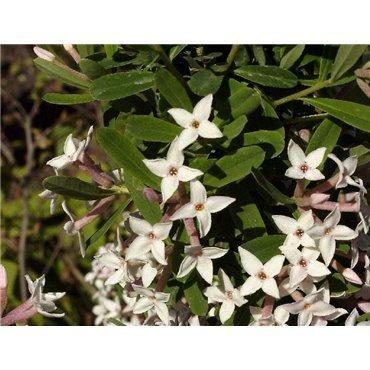 Daphne burkwoodii Somerset (bois-gentil)