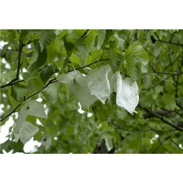 Davidia involucrata (arbre aux mouchoirs, arbres aux colombes)