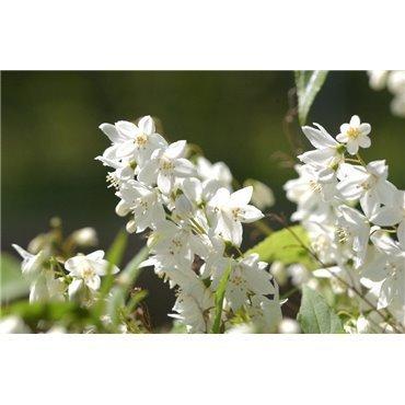 Deutzia gracilis ( Maiblumenstrauch )