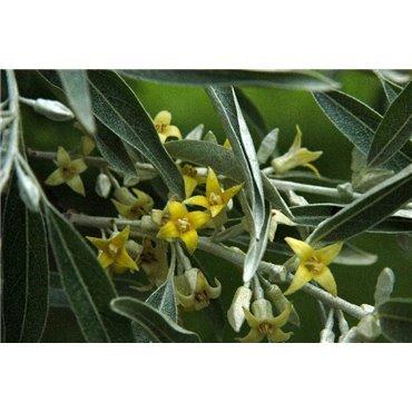 Elaeagnus angustifolia ( schmalblätterige Ölweide )