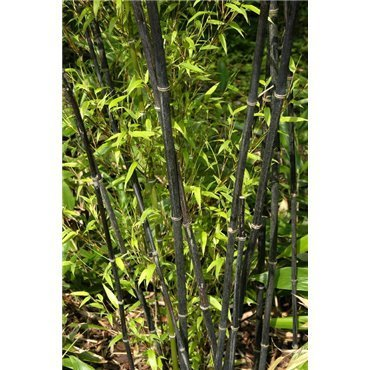 Phyllostachys nigra (bambou noir)