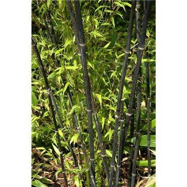 Phyllostachys nigra  (schwarzer Bambus )