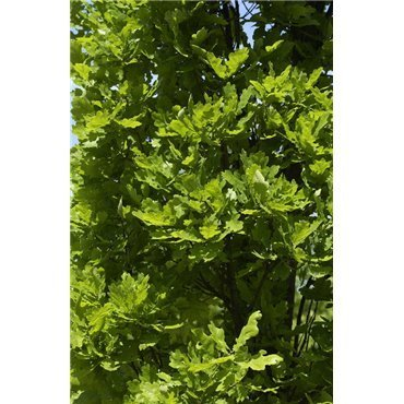 Quercus robur Fastigiata ( Stieleiche, Säuleneiche)