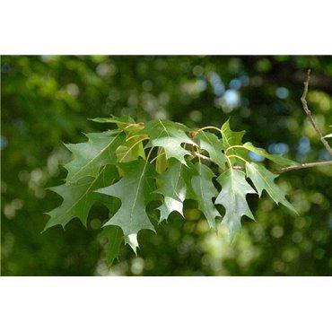 Quercus rubra ( Roteiche )