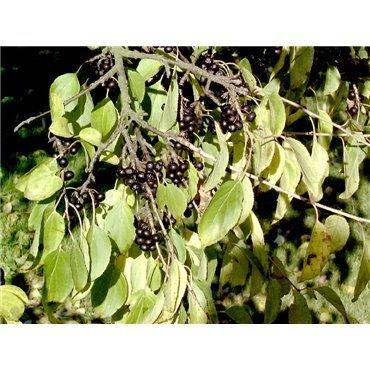 Rhamnus catharticus (neprun purgatif)