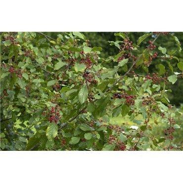Rhamnus frangula (bourdaine)
