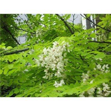 Robinia pseudoacacia Frisia (robinier, faux acacia)