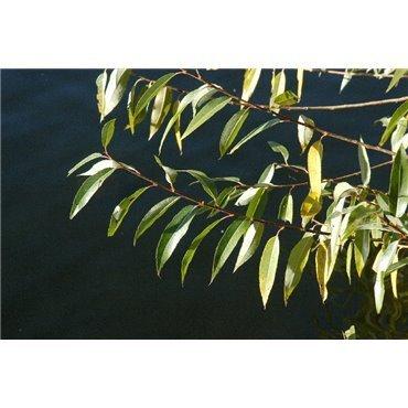 Salix alba ( Silberweide, Weissweide )